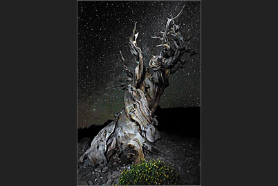 A bristlecone pine in the White Mountains of California under the stars of the Milky Way